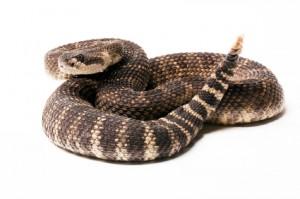 Rattlesnakes in Montana: What to Know - Vet in Billings | Billings