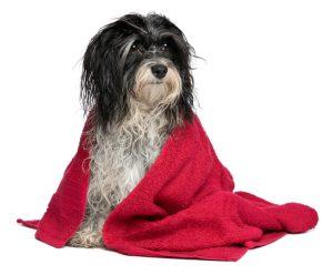 Wet black and white havanese dog after bath