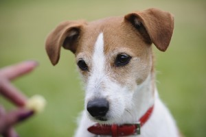 Portrait of a Parson Jack Russell Terrier transfixed by the prospect of a treat
