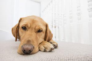 Labrador dog resting indoors