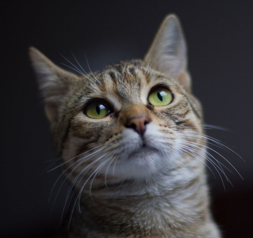 Close up of cat portrait shallow depth of field and selective focus on eyes