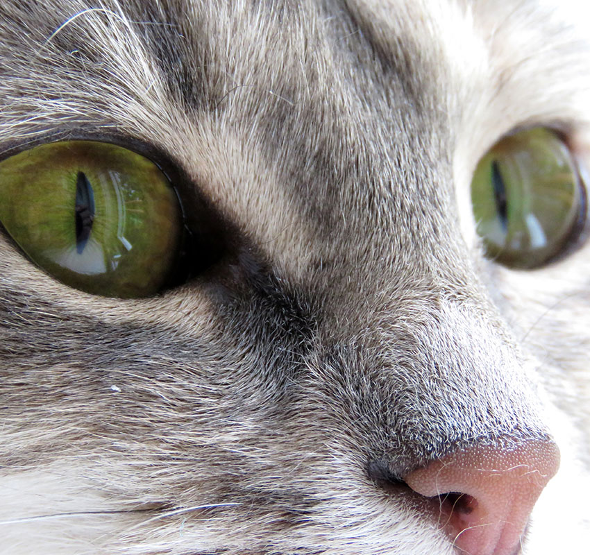 Closeup of a domestic cat with beautiful green eyes. - Image
