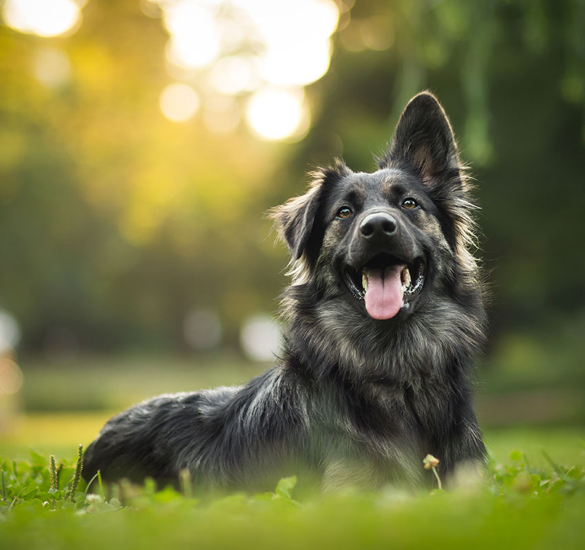 amazing portrait of young crossbreed dog (german shepherd) during sunset in grass - Image