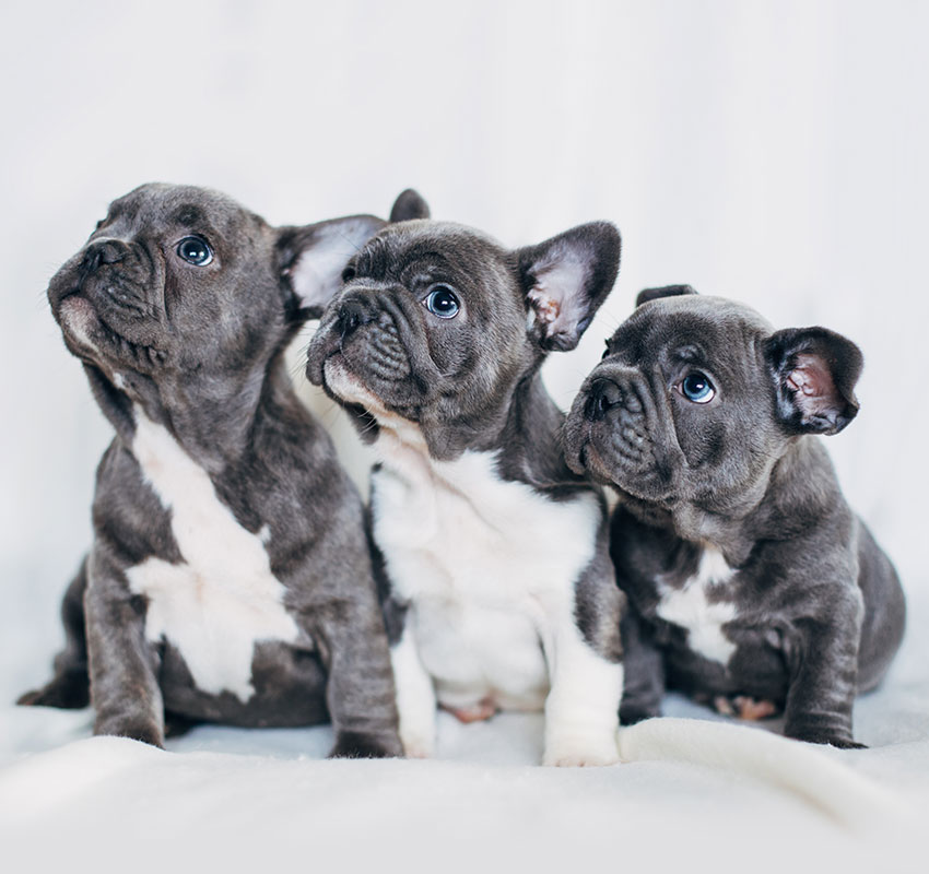 Portrait of three adorable bulldog puppies looking in one direction - Image