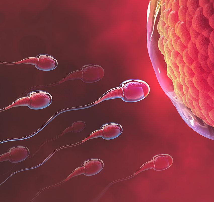 Sperm and egg cell. Natural fertilization. 3d illustration on red background - Illustration