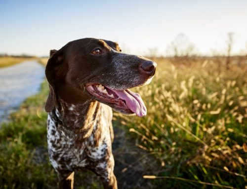 Leptospirosis on the Rise: Is Your Pet at Risk?