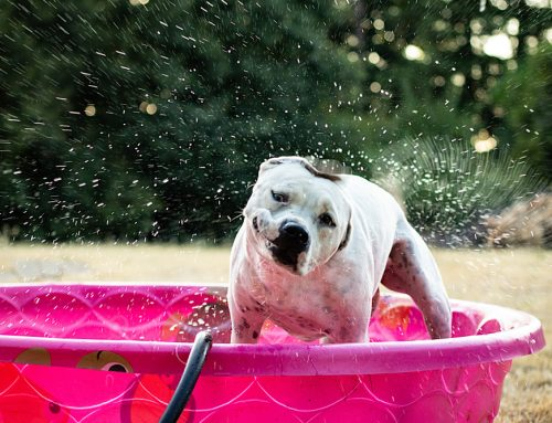 Heatstroke In Pets: How to Enjoy a Scorching Summer Safely