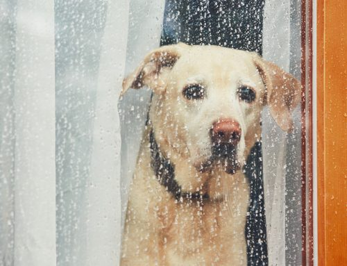 Don't Leave Me! Dealing With Separation Anxiety in Pets