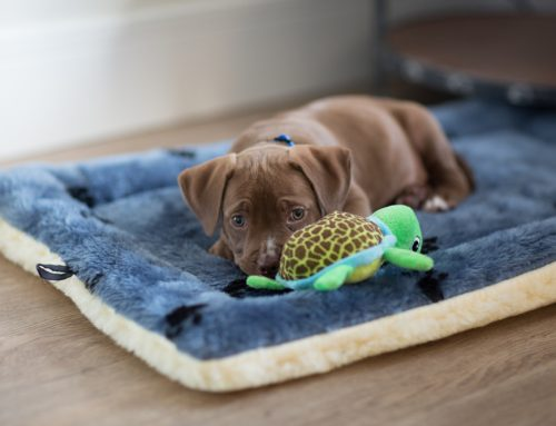 Welcome Home! Setting Your New Puppy Up For Success